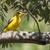 afrikaanse · gouden · tak · natuur · vogel · afrika - stockfoto © davemontreuil