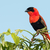 a male northern red bishop euplectes franciscanus in full bree stock photo © davemontreuil