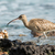 whimbrel on the rocks stock photo © davemontreuil