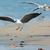 gaivota · aterrissagem · praia · pássaro · aves · cor - foto stock © davemontreuil