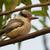 fofo · listrado · martim-pescador · pássaro · belo · bom - foto stock © davemontreuil