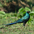 long tailed starling standing tall and alert stock photo © davemontreuil