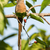 Red-faced mousebird (Urocolius indicus) perched with entire tail stock photo © davemontreuil