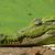 portré · krokodil · szem · száj · fej · park - stock fotó © davemontreuil