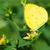 grama · amarelo · borboleta · potável · néctar · flores · brancas - foto stock © davemontreuil