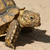 baby african spurred tortoise stock photo © davemontreuil