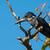 reus · ijsvogel · mannelijke · koper · kastanje · borst - stockfoto © davemontreuil