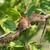 arbusto · esquilo · maduro · árvore - foto stock © davemontreuil