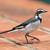 grama · pássaro · preto · branco - foto stock © davemontreuil