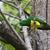 emerald · koekoek · rups · mannelijke · groene · mond - stockfoto © davemontreuil