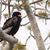 bateleur eagle terathopius ecaudatus perched in a tree stock photo © davemontreuil