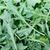 Fresh Arugula Leaves stock photo © dbvirago