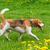 Beagle · зеленая · трава · собака · зеленый · луговой · щенков - Сток-фото © denisnata