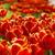 colorido · flores · foto · abstrato - foto stock © Dermot68