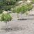 pistachio trees stock photo © deyangeorgiev