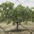 pistache · arbres · Grèce · plantation · fond · été - photo stock © deyangeorgiev