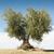 olive tree on blue sky stock photo © deyangeorgiev