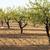 amande · arbres · arbre · domaine · paysage - photo stock © deyangeorgiev