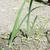 cebola · plantação · vegetal · jardim · comida · natureza - foto stock © deyangeorgiev