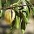 amandel · noten · boom · boerderij · landbouw · voedsel - stockfoto © deyangeorgiev