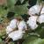 pamuk · hasat · Afrika · hasat · örnek · görüntü - stok fotoğraf © deyangeorgiev