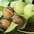 green and ripe walnuts studio shot stock photo © deyangeorgiev