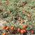 tomates · augmenté · domaine · authentique · plantes · Grèce - photo stock © deyangeorgiev