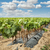 young vineyards in rows foto stock © deyangeorgiev