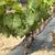 wygaśnięcia · jesienią · zbiorów · dojrzały · winogron · niebo - zdjęcia stock © deyangeorgiev