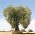 オリーブの木 · ギリシャ語 · ビーチ · 空 · 海 - ストックフォト © deyangeorgiev