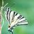 beautiful swallowtail papilio machaon stock photo © digoarpi