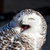 close up of snowy owl bubo scandiacus stock photo © digoarpi