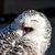 Close up of snowy owl (Bubo scandiacus) stock photo © digoarpi
