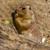 marmot eating something green leaf stock photo © digoarpi