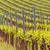 青 · ブドウ · 畑 · オーストリア · 葉 - ストックフォト © digoarpi