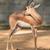 african antelope stock photo © digoarpi