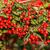 bos · bush · rijp · bessen · weinig - stockfoto © digoarpi