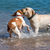 dogs playing in the water stock photo © digoarpi