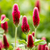 vermelho · trevo · erva · flores · flor · monte - foto stock © digoarpi