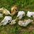 白 · プレート · 赤 · ピーマン · 緑の草 · 自然 - ストックフォト © digoarpi