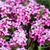 rosa · prímula · flores · ensolarado · primavera - foto stock © digoarpi