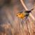 skillful robin bird on the branch stock photo © digoarpi