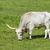 hunlgarian grey bull stock photo © digoarpi