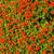 red garden geranium flowers stock photo © digoarpi