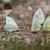 pillangók · fehér · tavasz · természet · terv · levél - stock fotó © digoarpi