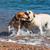 puppy · springen · lopen · jonge · beagle · strand - stockfoto © digoarpi