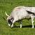 hungarian gray bull stock photo © digoarpi