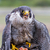 peregrine falcon falco peregrinus these birds are the fastest stock photo © digoarpi