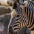 zebra close up portrait stock photo © digoarpi