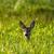 fiatal · ikra · szarvas · áll · erdő · természet - stock fotó © digoarpi